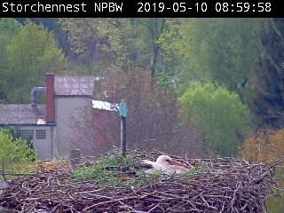 Webcam der Grafenauer Storchenfamilie