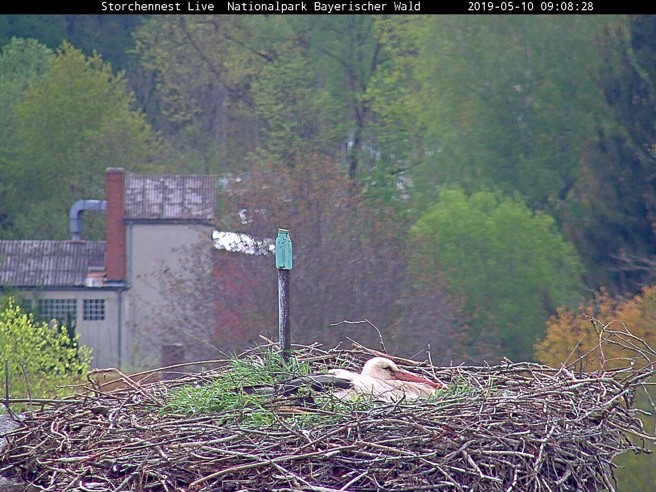 Blick in das Nest des Grafenauer Storchenpaares